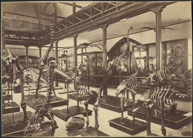 Moa skeletons, Canterbury Museum [ca 1890]